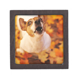 Jack Russell Terrier barking and jumping, Autumn Gift Box