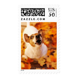 Jack Russell Terrier barking and jumping, Autumn Postage