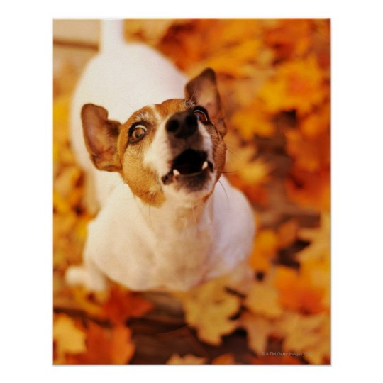 Jack Russell Terrier barking and jumping, Autumn Poster