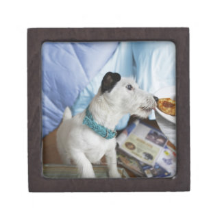 Jack russell terrier. gift box