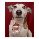 Jack Russell Terrier Holding Christmas Ornament Poster