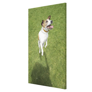 Jack russell terrier jumping, elevated view canvas print