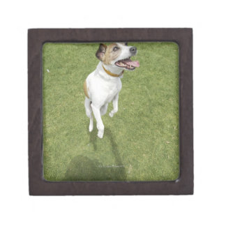 Jack russell terrier jumping, elevated view jewelry box