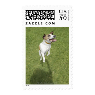 Jack russell terrier jumping, elevated view postage