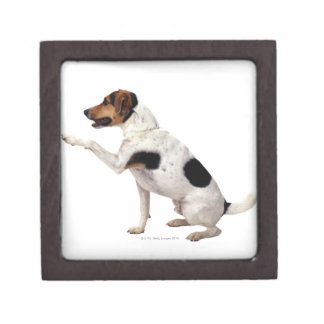 Jack Russell Terrier Lifting Paw Jewelry Box