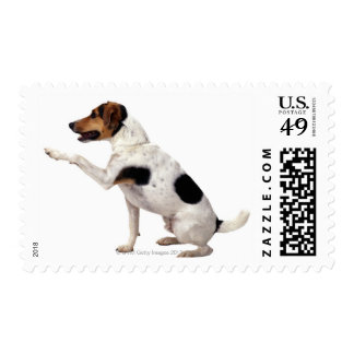 Jack Russell Terrier Lifting Paw Stamp