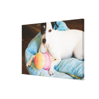 Jack russell terrier lying down canvas print