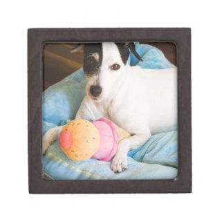 Jack russell terrier lying down gift box