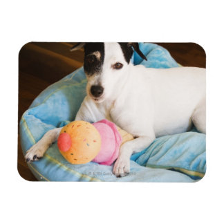 Jack russell terrier lying down magnet