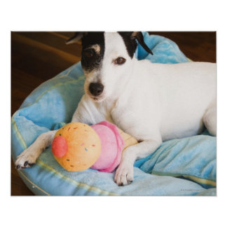 Jack russell terrier lying down poster