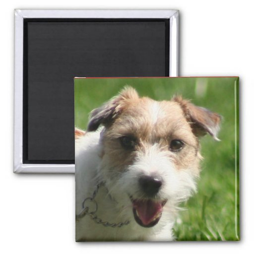 Jack Russell Terrier mug 2 Inch Square Magnet