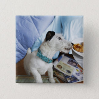 Jack russell terrier. pinback button