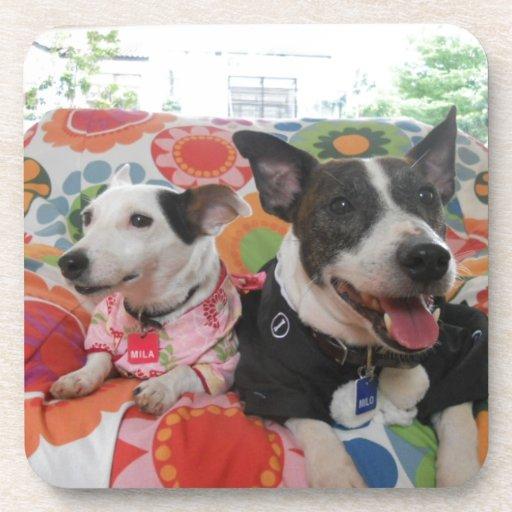 Jack Russell Terrier Posavaso