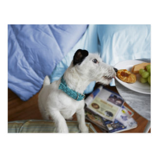 Jack russell terrier. postcards