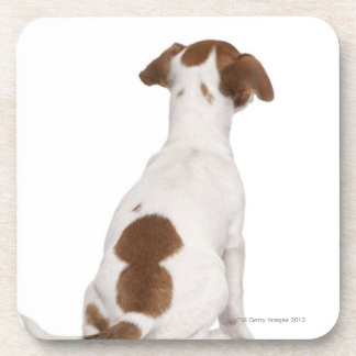 Jack Russell Terrier puppy (3 months old) Beverage Coaster