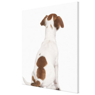 Jack Russell Terrier puppy (3 months old) Canvas Print
