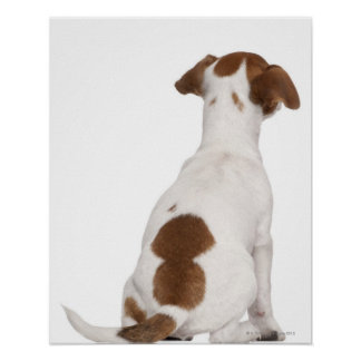 Jack Russell Terrier puppy (3 months old) Poster