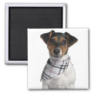 Jack Russell Terrier puppy (4 months old) 2 Inch Square Magnet