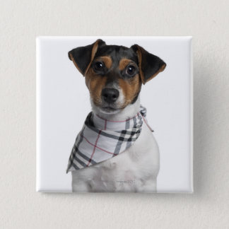 Jack Russell Terrier puppy (4 months old) Button
