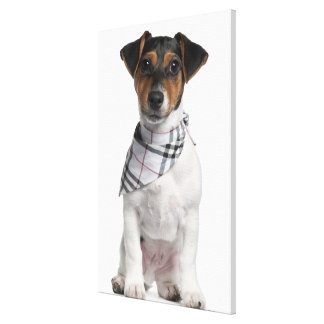 Jack Russell Terrier puppy (4 months old) Canvas Print