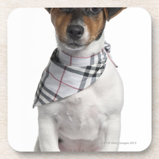 Jack Russell Terrier puppy (4 months old) Coaster