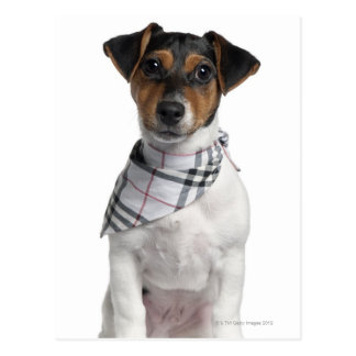 Jack Russell Terrier puppy (4 months old) Postcard