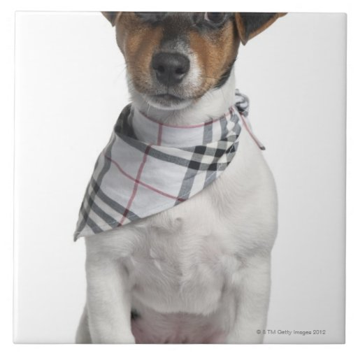 Jack Russell Terrier puppy (4 months old) Tiles