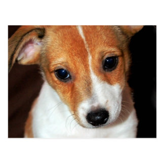 Jack Russell Terrier Puppy Dog  Postcard