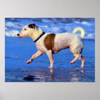 Jack Russell Terrier que corre en la playa Póster