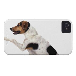 Jack Russell Terrier que levanta la pata iPhone 4 Cárcasas