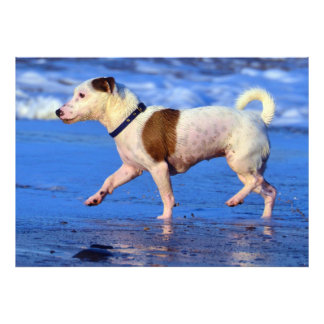 Jack Russell Terrier Running On The Beach Photo Print