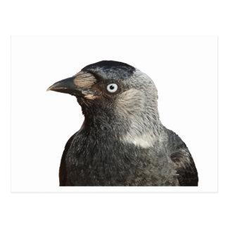 Jackdaw Bird Portrait Vector Postcard