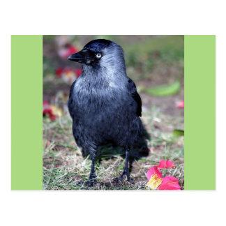 Jackdaw Stands In Midst Of Flower Petal Postcard