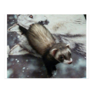Jackie the Ferret Postcard