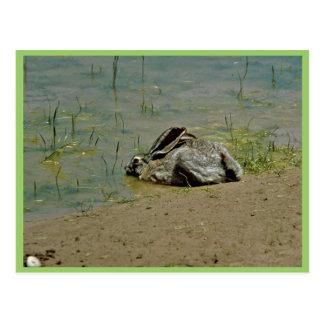 Jackrabbit in Water Postcard
