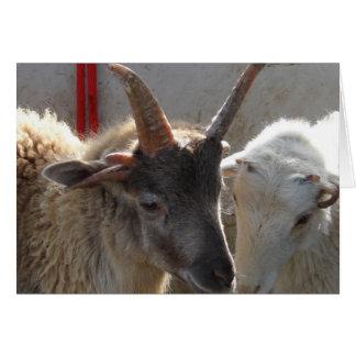 Jacob Crossbred Sheep Card
