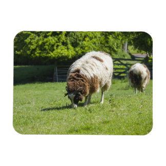 Jacob Sheep Grazing Magnet