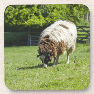 Jacob Sheep Grazing Photograph Drink Coaster