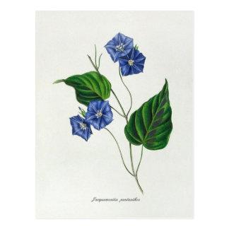 Jacquemontia pentanthos (skyblue clustervine) postcard