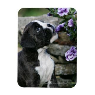Jadeo del perro del boxeador imán de vinilo