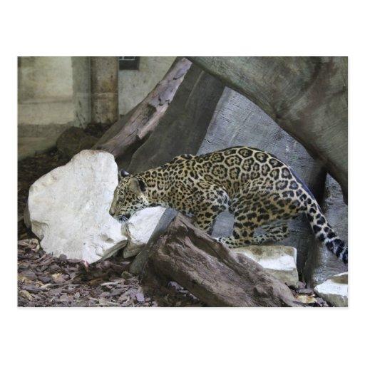 Jaguar # 10 post cards