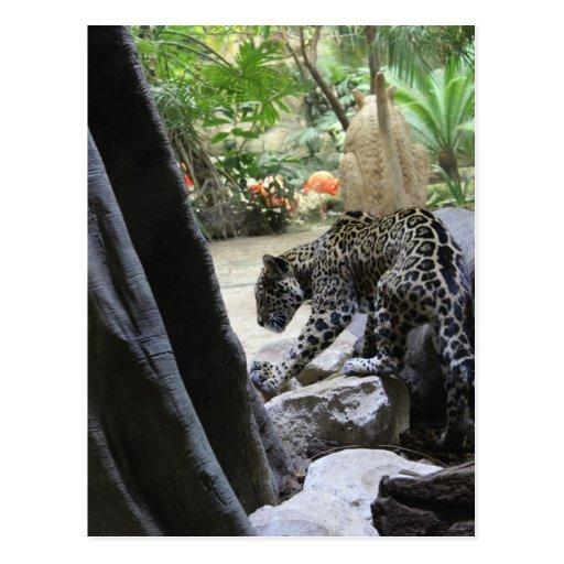 Jaguar # 12 postcard