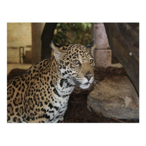 Jaguar # 13 post card