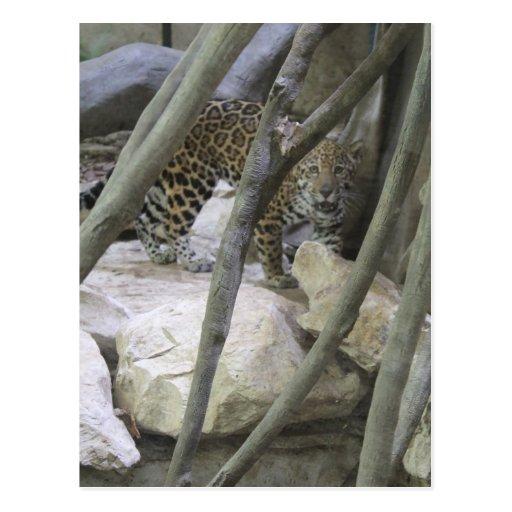 Jaguar # 15 postcards