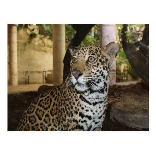 Jaguar # 16 postcard