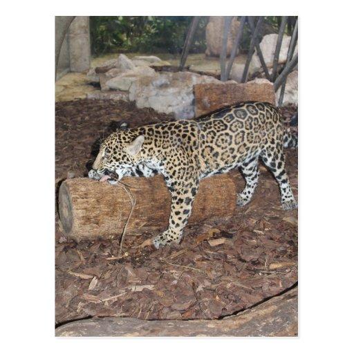 Jaguar # 19 postcard