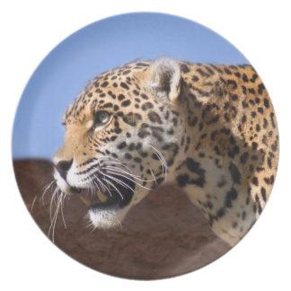 jaguar-9 plato de cena