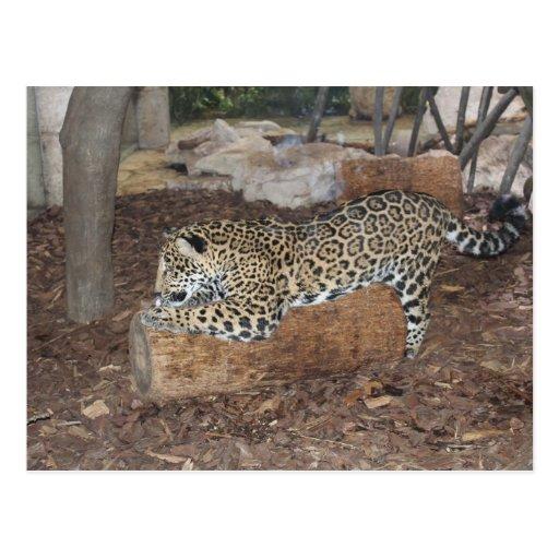 Jaguar # 9 post cards