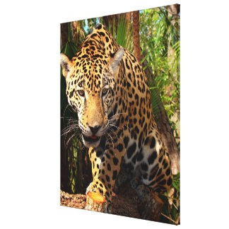 Jaguar Adolescent Canvas Print