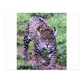 Jaguar Africa Jungle Safari Nature Peace Destiny Postcard